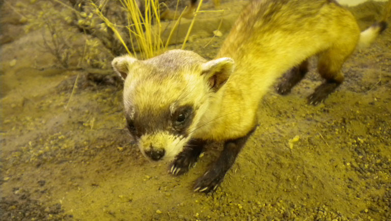 Black Footed Ferret