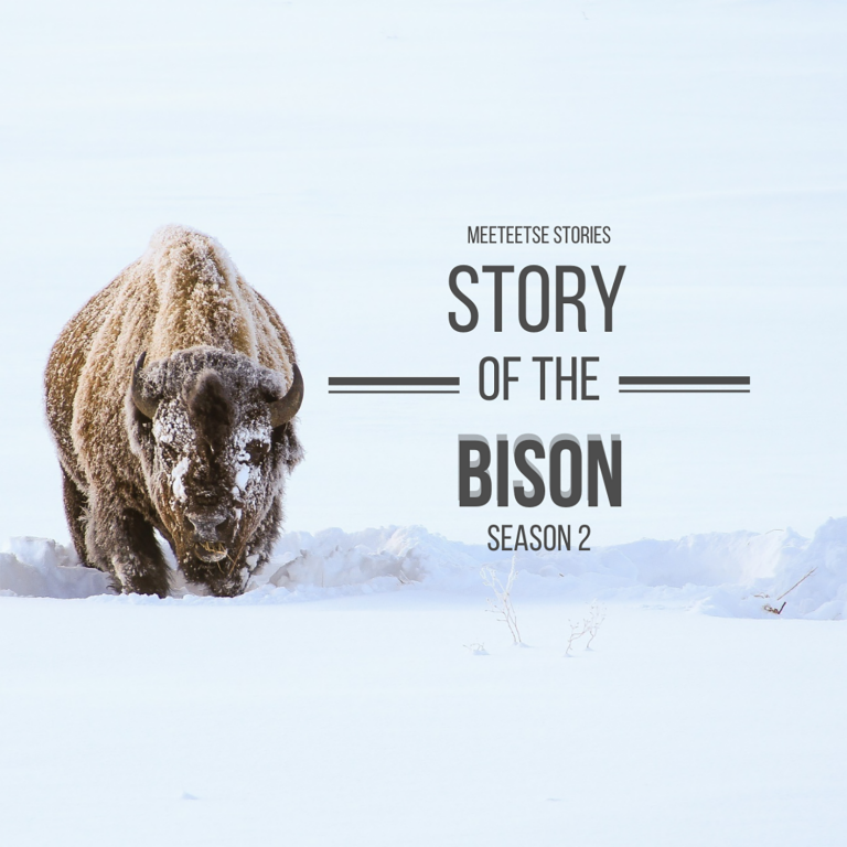 """A bison wades through knee-high snow with the text """"Meeteetse Stories Story of the Bison Season 2"""" to the right of him."""